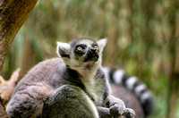 Ringtailed Lemur on limb looking upward with a tip of tongue showing