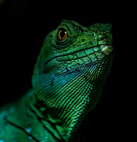 Portrait of Green lizard