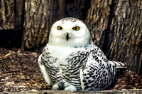 Wide Eyed Snowy Owl Perched On Ground