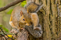 Fox Squirrel Posed