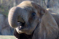 African Elephant trunk curled going back to mouth