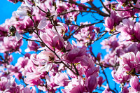 Pink Magnolia Tree blooms against a nice blue sky
