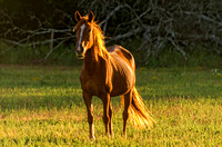 Golden rays of sunset on brown horse