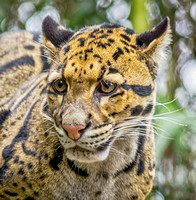 Clouded Leopard spirit