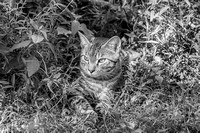 Black and white of Striped Tabby