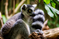 Ringtailed Lemur tail in air