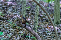 Cute chipmunk on a broken limb Radnor Lake