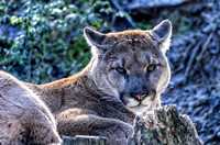 Cougar with head up for a moment