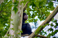 Siamang Gibbon sitting high up on a limb puffed up cheek