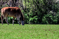 Southern Eland Grazing upon Green Grass