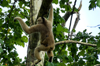 White-cheeked Gibbon high in tree baby holding tight
