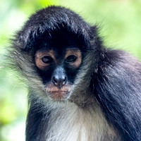 Mexican Spider Monkey square format