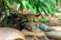 Clouded Leopard cub under tree resting head on rock