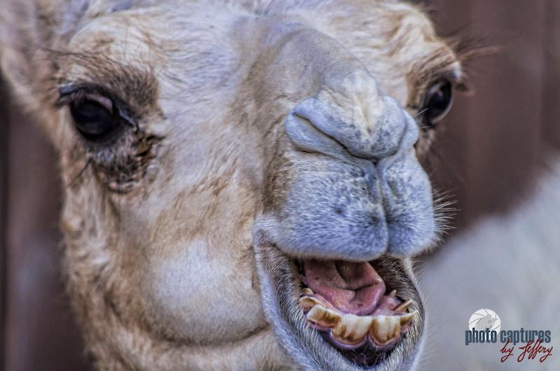 Dromedary Camel Hermes