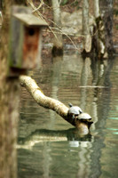 Two turtles sunning on log Bledsoe Creek