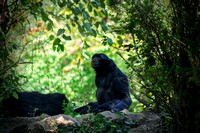 Siamang Gibbons on rock in the center