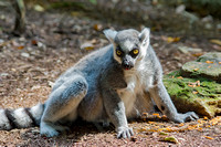 Ring-tailed Lemur in a relaxed sun daze
