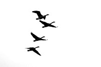 Four Canadian Geese in flight black and white