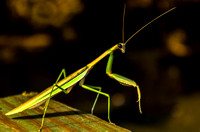 Stick Crawler Mantis