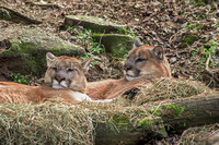 Two Cougars awake from nap