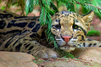 Clouded Leopard Cub with pine tree up against face