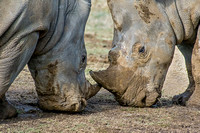 Two White Rhinoceros horns together