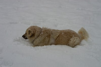 Great Pyrenees laying in snow