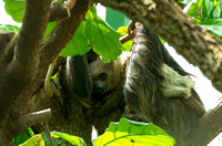 Two-toed sloth baby on mom resting adorable animal prints