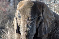 Close front head African Elephant