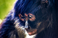 Close up face view Spider Monkey