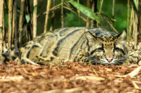 Clouded Leopard laying on ground looking forward