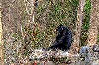 Siamang Gibbon on rock adorable animal prints