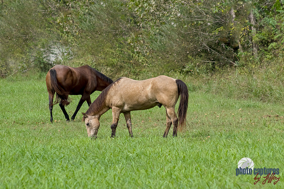 Two horses grazing near edge of pasture