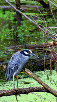 Portrait of Yellow-crowned Night Heron
