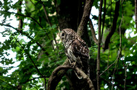 Barred owl perched upon cruved limb