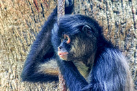 Mexican Spider Monkey side view with vine