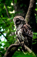 Artistic portrait of Barred Owl perched on curved branch