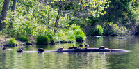 Scenic artistic view turtles ducks on log
