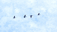 Four Canadian Geese in Flight blue background