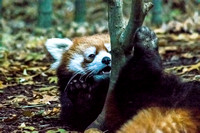 Red Panda laying on ground behind small tree