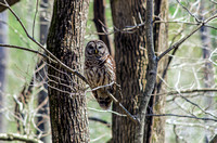 Radnor Lake State Natural Area Barred Owl In Tree