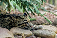 Clouded Leopard cub resting head upon rock
