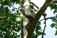 White-cheeked Gibbon mother son high on limb