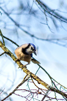 Portrait of Blue Jay perched on branch