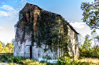 Vine covered abandoned barn