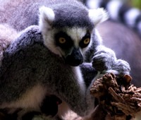 Ringtailed Lemur holding tight looking down at ground