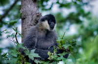 Ari White-cheeked Gibbon up in tree resting