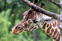 Layla reticulated giraffe rubbing horns on branch