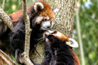 Qiji Red Panda giving her baby a kiss