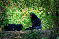 Siamang Gibbons on rock